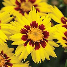 Thompson & Morgan 24 x Coreopsis Sunkiss Plug Plants
