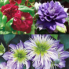 Raymond Evison 3 x Double Flowered Clematis in 7cn Pots