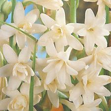 Mont Rose of Guernsey Hawaiian Garland Flower 'The Pearl' x10 Bulbs