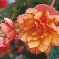 'Hayloft Plants 11 x Begonia Apricot Shades & 1 Golden Picotee Plugs