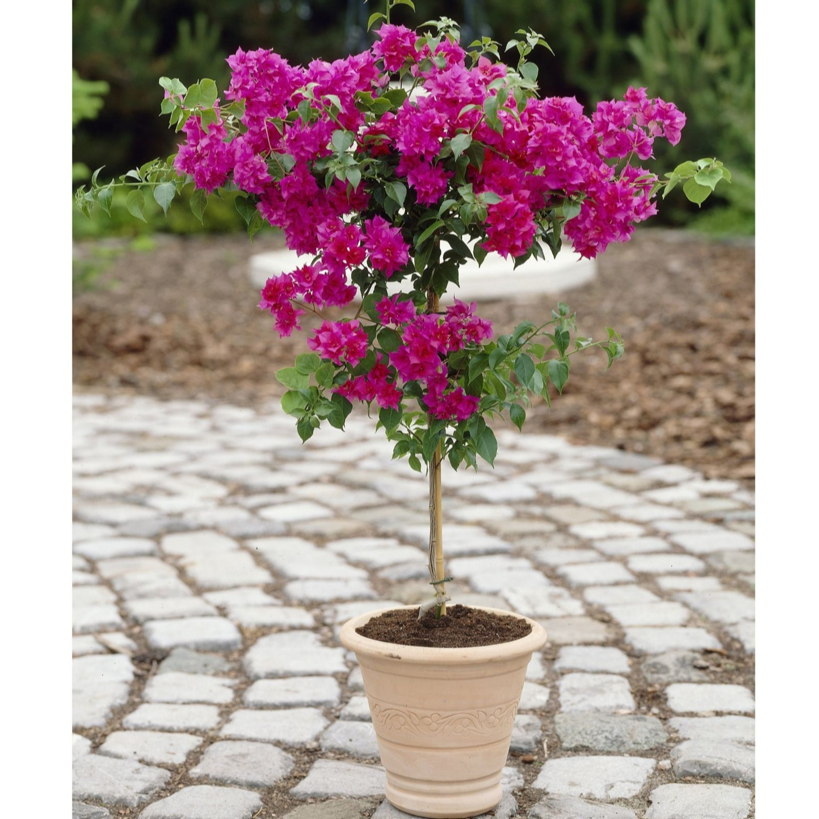 Gardening Express Bougainvilea Patio Tree   505221