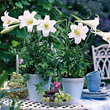 Hayloft Plants 10 x Longiflorum Lily White Present Bulbs