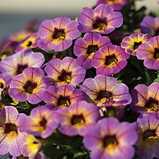 Hayloft Plants 12 x Colour Changing Calibrachoa Young Plants