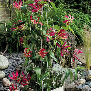 hayloft plants 2x gloriosa bare roots with fleur de lys obelisk planter. Black Bedroom Furniture Sets. Home Design Ideas
