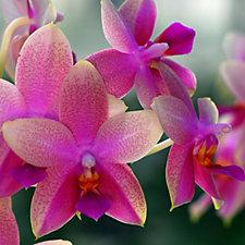 Plants2Gardens Phalaenopsis Orchid Sweet Memory in 12cm Pot