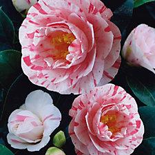 Hayloft Plants 1 x Camellia Contessa Lavinia Maggi in 14cm Pot