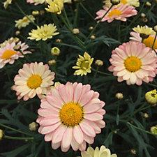Mont Rose 10 x Argyanthemum Aramis Apricot Young Plants