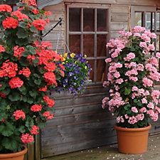 Mont Rose 6 x Climbing Geranium Antic Mixed Colours Young Plants