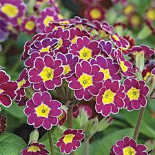 512525 - De Jager 12 x Polyanthus Victoriana Plug Plants
