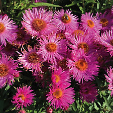 Hayloft Plants 9 x Aster Bare Root Collection