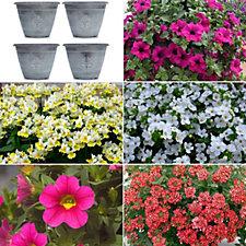 Plants2Gardens 20 x Summer Colour Young Plants & 4 Fleur de Lys Planters