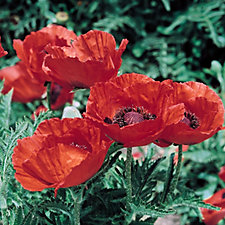 Mont Rose 6 x Oriental Poppy Allegro Plug Plants
