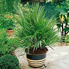 508630 - Plants2Gardens 2 x Chamaerops Humillis Compacta in 18cm Pots