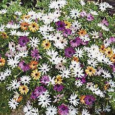Thompson & Morgan 10 x Osteospermum Falling Stars Plug Plants