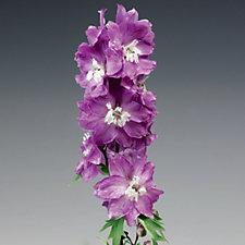 Hayloft Plants 10 x Delphinium Excalibur Young Plants