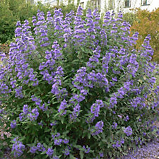 Hayloft Plants 2 x Caryopteris Blue Balloon in 9cm Pots