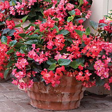 508131 - Unwins 20 x Begonia Big Boy Plug Plants