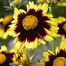 509231 - Hayloft Plants 5 x Coreopsis Young Plants