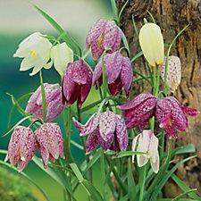 512531 - De Jager 50 x RHS AGM Mixed Fritillaria Bulbs