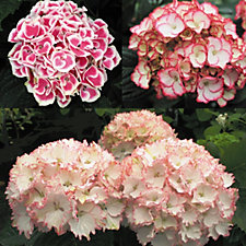 Mont Rose of Guernsey 3 x Exclusive Hydrangea Picote Jumbo Plugs