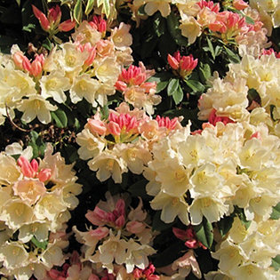 unwins 3l rhododendron golden torch young plant. Black Bedroom Furniture Sets. Home Design Ideas