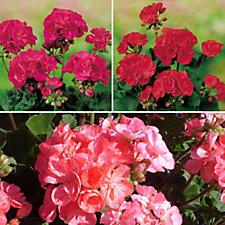 Mont Rose of Guernsey  9 x Geranium Grandeur Classic Jumbo Plugs