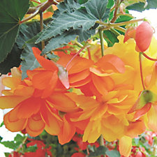 Hayloft Plants 12 x Begonia Apricot Shades Lemon & Tangerine Young Plants