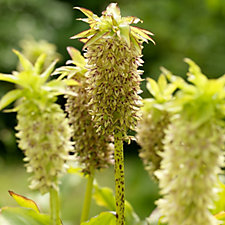 Mont Rose of Guernsey 3 x AGM Pineapple Lily Eucomis Bulbs