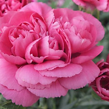 Mont Rose of Guernsey 6 x Summer Peony Cerise Jumbo Plugs