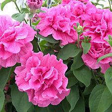 Plants2Gardens 12 x Petunia Tumbelina Plugs