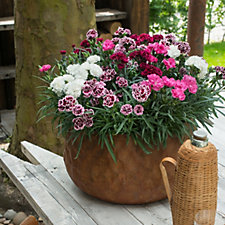 Hayloft Plants 9 x Dianthus Odessa Young Plants & 3 Decorative Containers