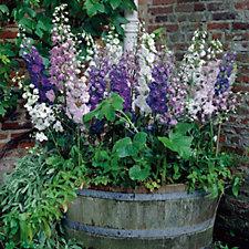 Hayloft Plants 4 x Delphinium Magic Fountains Bare Roots