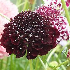 509138 - Hayloft Plants 5 x Scabious Young Plants