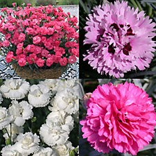 Whetman Pinks 12 x Early Bird Alpine Pinks Young Plants