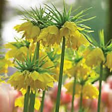 512438 - Thompson & Morgan 4 x Fritillaria Imperialis Lutea Bulbs