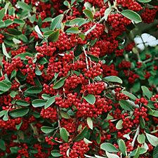 Plants2Gardens Cotoneaster Lacteus in 3 Litre Pot