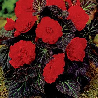 De Jager 8 X Begonia Switzerland Bulb Collection Qvcuk Com