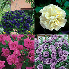 507441 - Mont Rose of Guernsey 12 x Petunia Tumbelina Mixed Jumbo Plugs