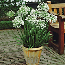 De Jager White Agapanthus Giant Bare Root