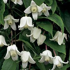 Hayloft Plants 2 x Clematis Winter Beautiful 7cm Pot Plants