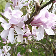 507442 - Plants 2 Gardens Magnolia Stellata Small Shrub in 5 Litre Pot