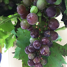 508642 - Plants2Gardens Cerreto Grape Vine in 10 Litre Pot