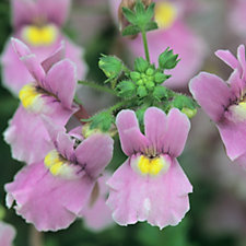 Hayloft Plants 6 x Nemesia Confetti Young Plants