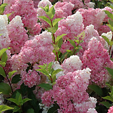 507443 - Plants 2 Gardens Hydrangea Paniculata Strawberries & Cream in 3L Pot