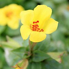 507543 - Plants2Gardens 6 x Mimulus Torelus Plug Plants
