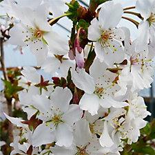 Plants2Gardens Prunus Nipponica in 5 Litre Pot
