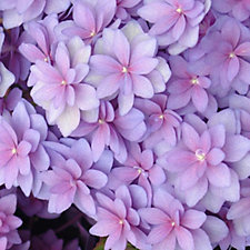 512544 - Mont Rose Hydrangea Double Bloomer with 100g Sachet of Colourant