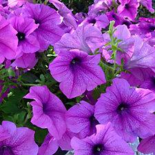 Plants2Gardens 12 x Giant Flowered Petunia Plugs