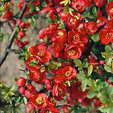 Plants2Gardens Chaenomeles Moerloosii Rubra in 3 Litre Pot