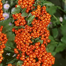 Plants2Gardens Pyracantha Orange Glow in 2 Litre Pot